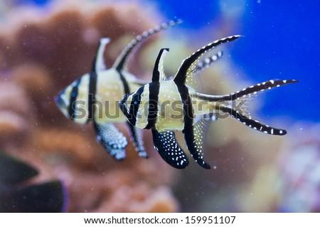 Pterapogon - colorful sea fish - zebra  - stock photo