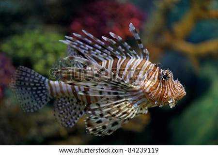Pterois antennata, scorpionfish is a venomous marine fish and well known for their ornate beauty and unique tentacles. - stock photo