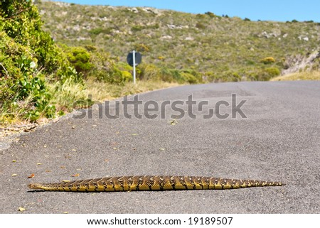 Puff adder viper (Bitis arietans) crossing road. Shot in the Cape of Good Hope and Cape Point Nature Reserve, Table Mountain National Park, near Cape Town, South Africa. - stock photo