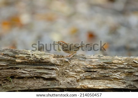 Puff-throated babbler(Pellorneum ruficeps) on stair at us in nature - stock photo