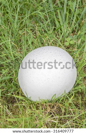 Puffball fungus covered in dew growing in grass - stock photo