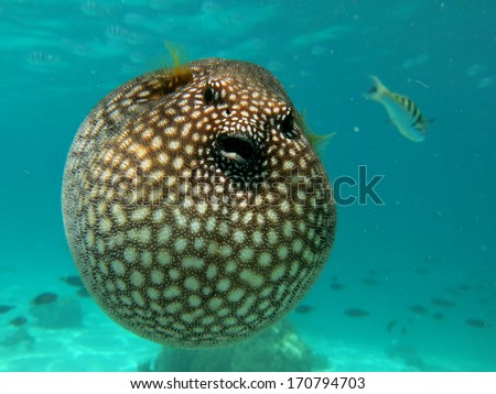 Puffer fish - stock photo