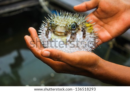 puffer fish on male hand - stock photo