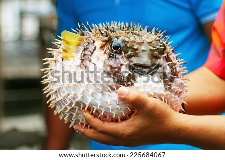 puffer fish on male hand. looking at the camera - stock photo