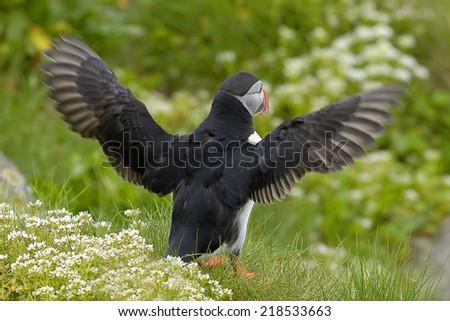 Puffin, Fratercula arctica - stock photo