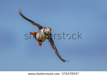 Puffin (Fratercula arctica) flying back to nesting colony with fish in beak to feed young on Isle of May, Scotland - stock photo