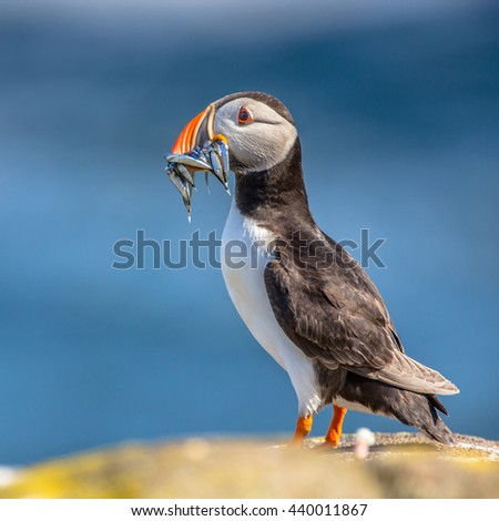 Puffin (Fratercula arctica) with fish in beak  underway to its nest in breeding colony on Isle of May, Scotland - stock photo
