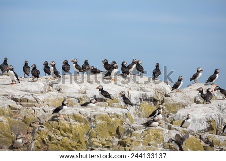 Puffins on a rock at sea - stock photo