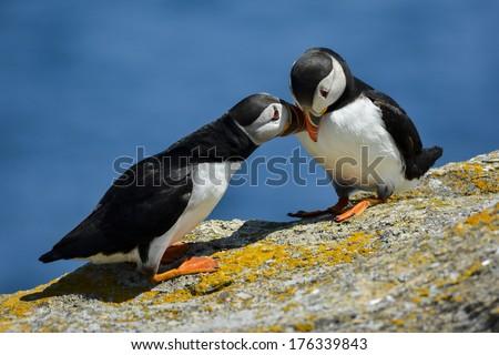 puffins rub beak - stock photo