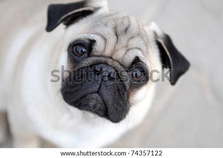 Pug - stock photo