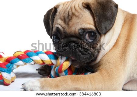 Pug biting toy - stock photo