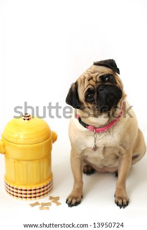 Pug cocking it's head and standing beside fire hydrant cookie jar. - stock photo