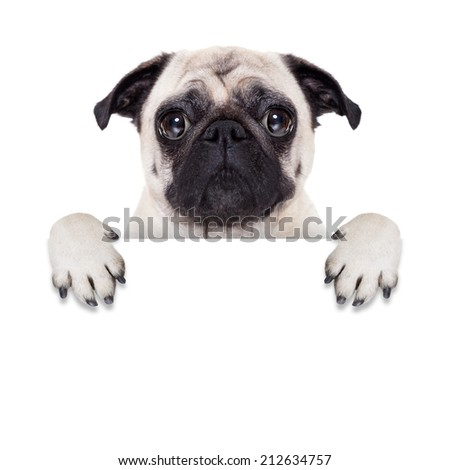 pug dog behind blank white banner or placard - stock photo
