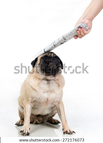 Pug / Dog being punished / hit / smacked / abused good for illustration or humor (No harm done hitting was done very gently) - stock photo