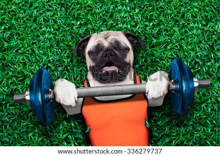 pug dog doing and exercising sport with Dumbbell bar in the park meadow lying on grass, trying very hard - stock photo