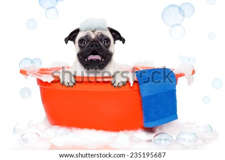 pug dog in a bathtub not so amused about that , with yellow plastic duck and towel, covered in foam , isolated on white background - stock photo