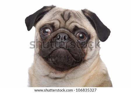 Pug dog in front of a white background - stock photo