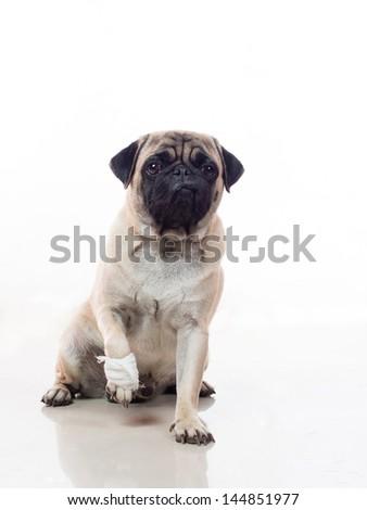pug dog injured with bandage on its paw - stock photo