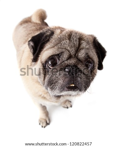 Pug dog isolated in white - stock photo