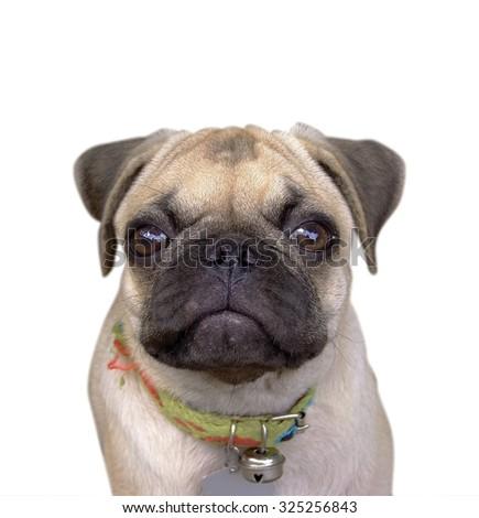 Pug Dog Isolated on a White Background - stock photo
