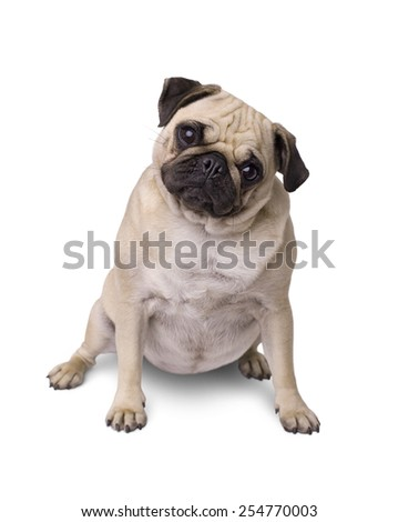Pug dog isolated on white background - stock photo