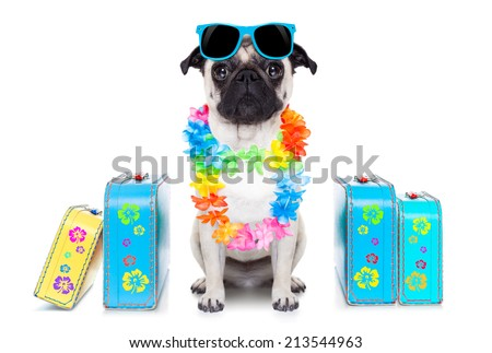 pug dog looking so cool with fancy sunglasses  and lots of bags - stock photo