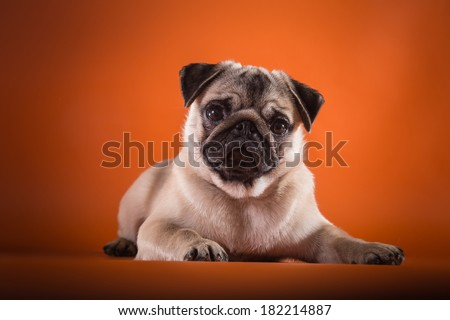 Pug dog on a colored background - stock photo