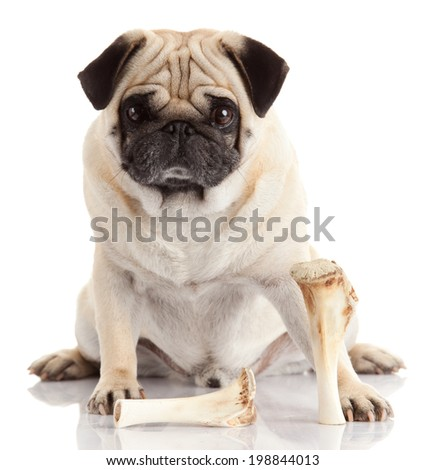 Pug dog on white background - stock photo