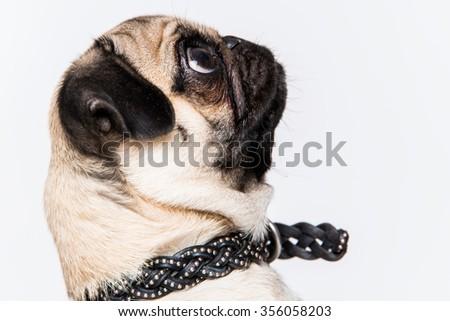 Pug dog portrait side - stock photo