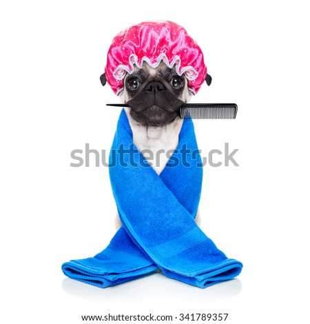 pug dog ready to have a bath or a shower wearing a bathing cap and towel, isolated on white background holding a hair comb with mouth - stock photo