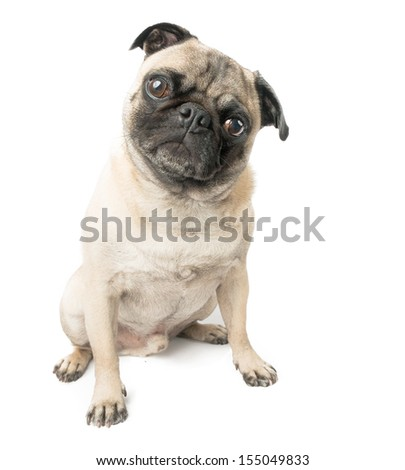 Pug Dog Sitting and Adorable, Isolated on a White Background  - stock photo