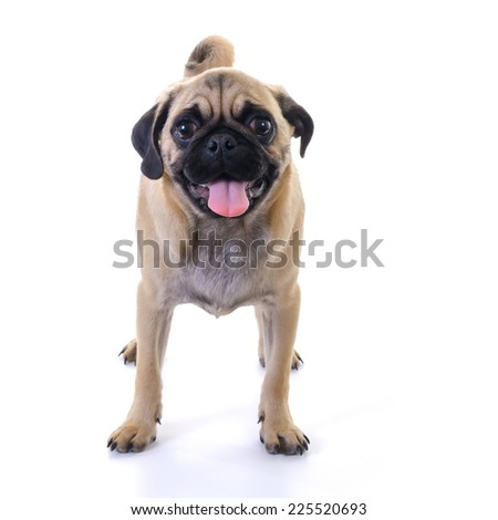 Pug dog Standing in front of white background, front view, high key, square image - stock photo