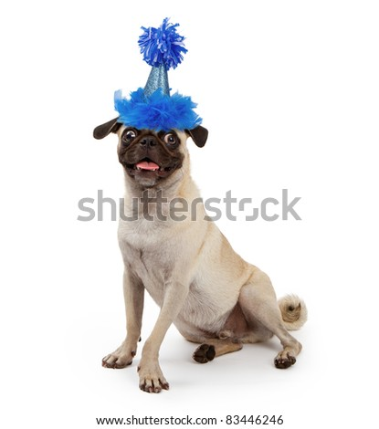 Pug dog wearing a blue sparkly birthday party hat with feathers and a pom-pon - stock photo