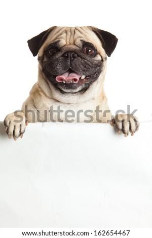 pug dog with bunner isolated on white background. design - stock photo