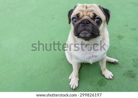 pug dog with eye injury - stock photo