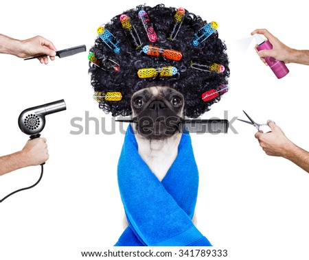pug dog  with hair rulers  and afro curly wig  hair at the hairdresser ,isolated on white background - stock photo