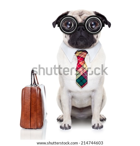 pug dog with suitcase going to work with nerd glasses and big ugly eyes,isolated on white background - stock photo