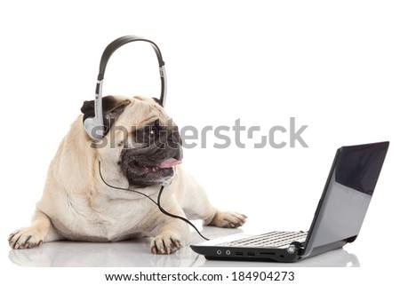 pug gdog  on looking at a laptop computer. - stock photo