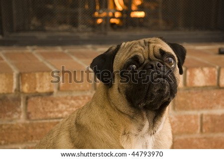 Pug in Front of Fire - stock photo
