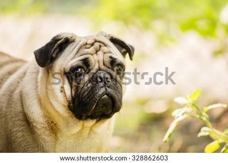 Pug looking for someone  - stock photo