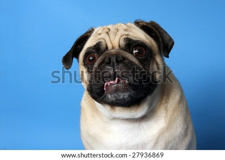 Pug making funny faces on a blue background. - stock photo