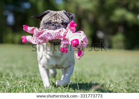 Pug playing with a pig toy, so fitting!  - stock photo