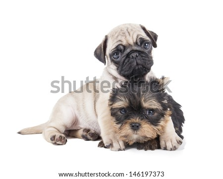 Pug puppies and Yorkshire Terrier - stock photo