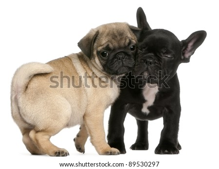 Pug puppy and French Bulldog puppy, 8 weeks old, hugging in front of white background - stock photo