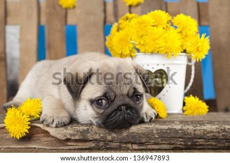 pug puppy and kitten - stock photo