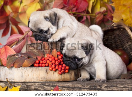 pug puppy and rowan berries - stock photo