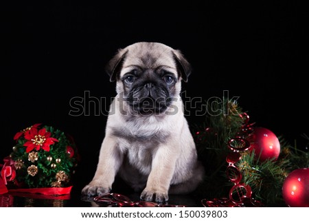 pug puppy dog - stock photo