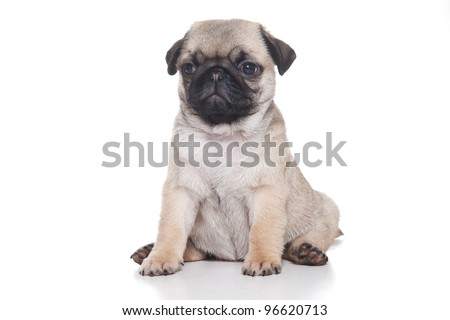 Pug puppy isolated on white background - stock photo