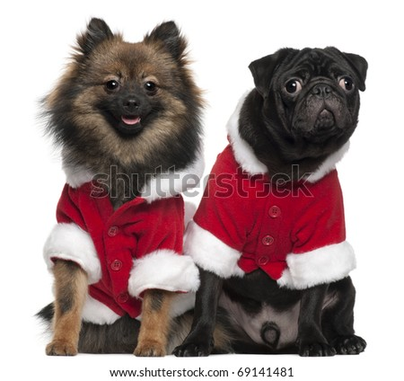 Pug puppy, 6 months old, and Spitz, 7 months old, wearing Santa outfits in front of white background - stock photo