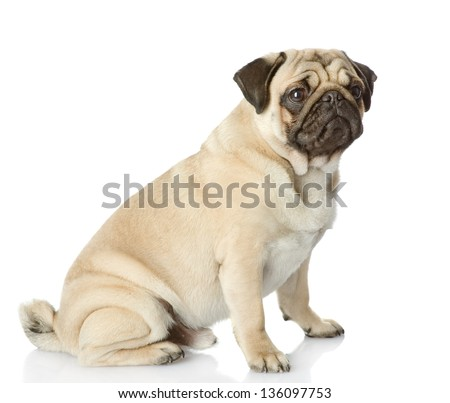 pug puppy sitting in profile. isolated on white background - stock photo